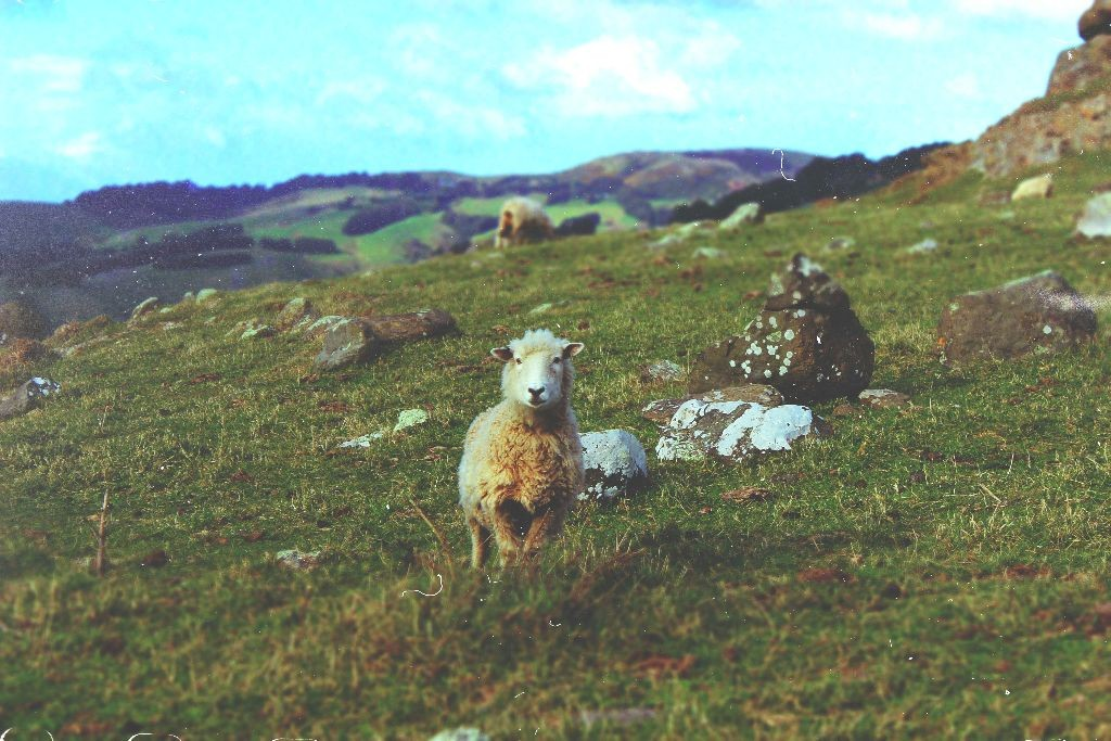 New_Zealand_Sheeps