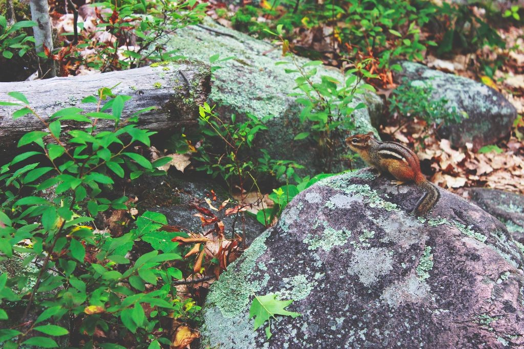 Chipmunk_Granite Ridge Trail_Killarney_Provincial_Park_Kanada