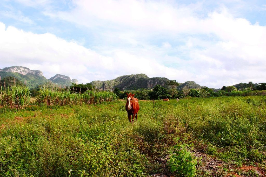 Kuba-Vinales-Pferd