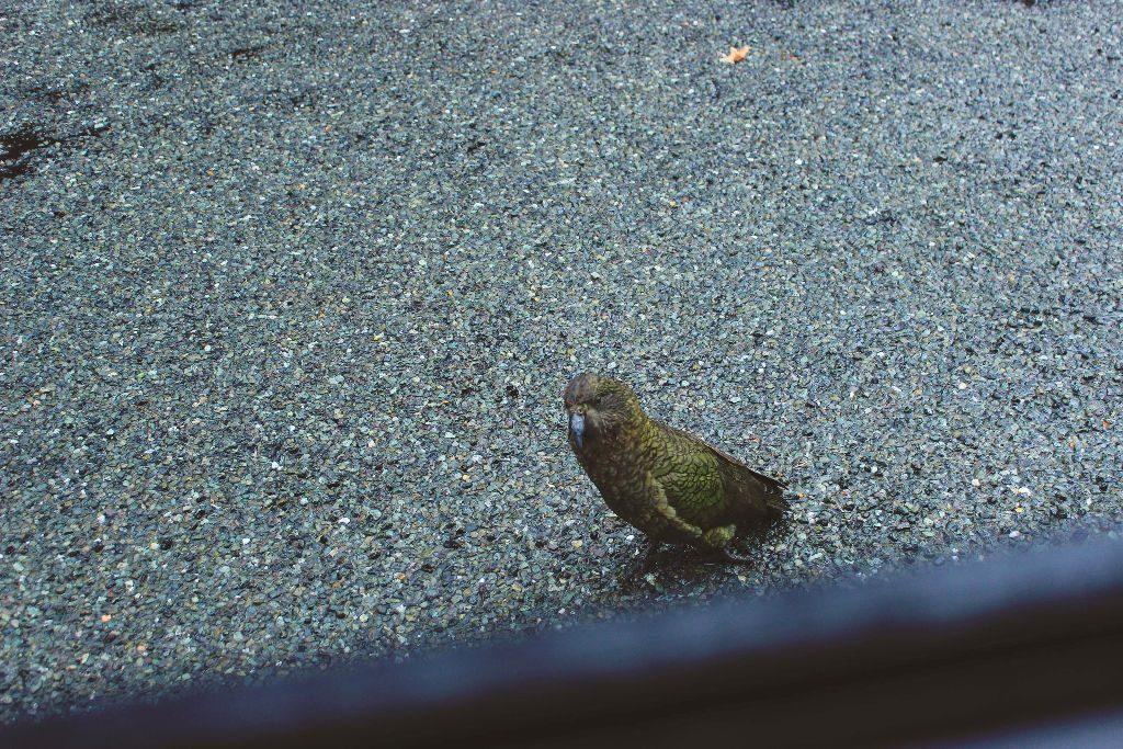 Milford Sound Neuseeland Kakapo Vogel