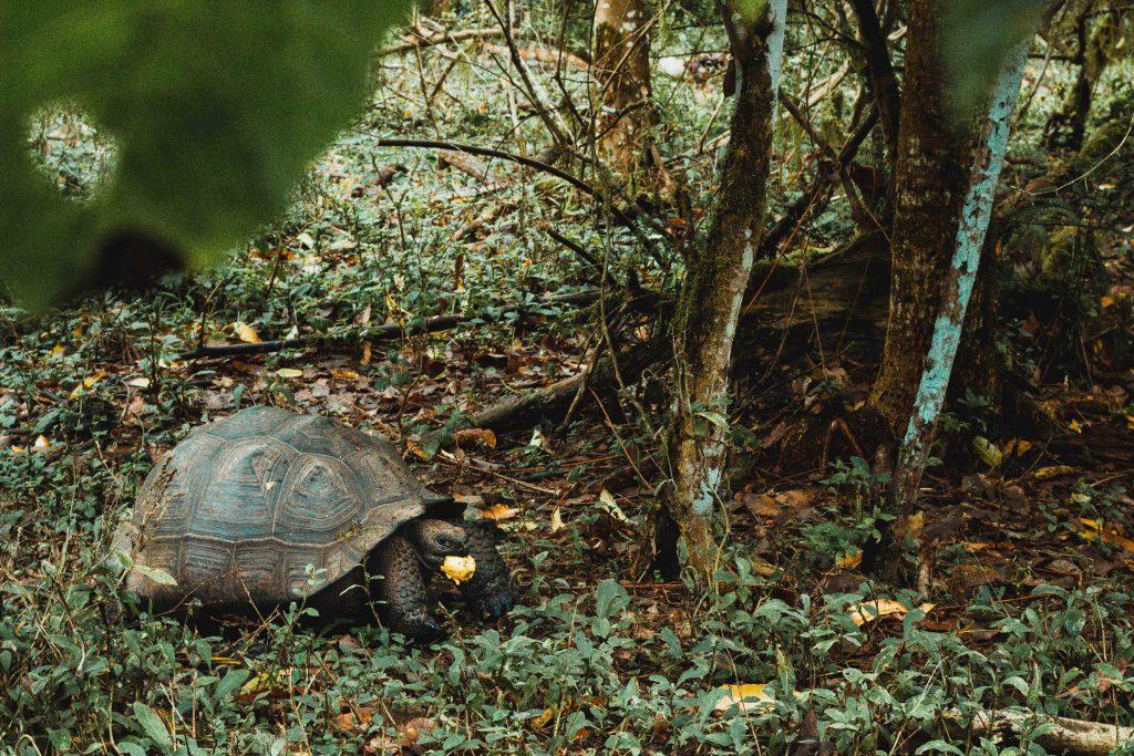 Riesenschildkröte, Galapagos Insel