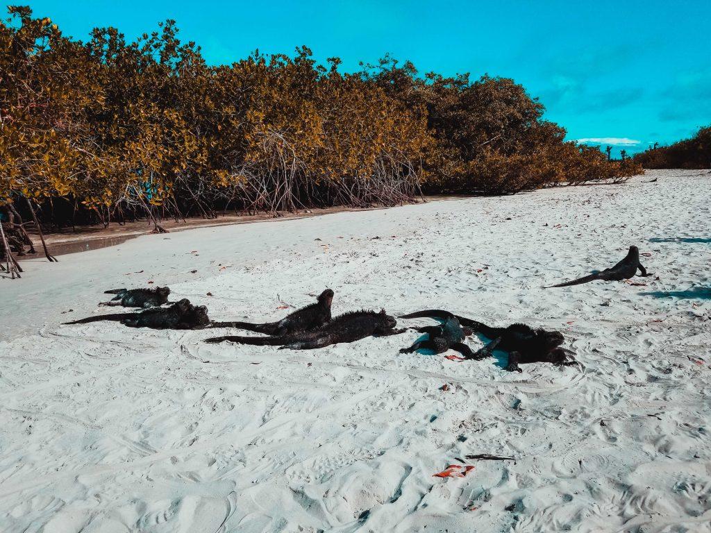 Meereidechsen, Galapagos Insel, Tortuga Bay