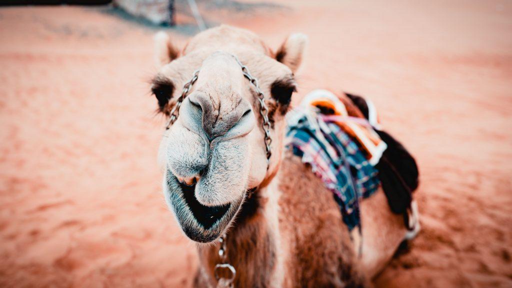 Oman Wüsten Camp, Kamel